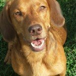 Hund Fox ohne Hundeversicherung